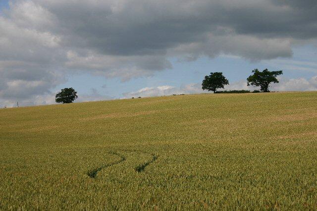 Wheat field near Truckett's Hall