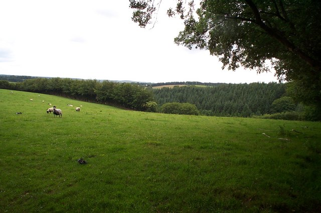 Sheep grazing west of Brown Lane, on the Brendon Hills