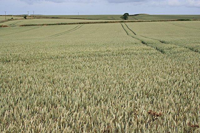 Wheat Prairie