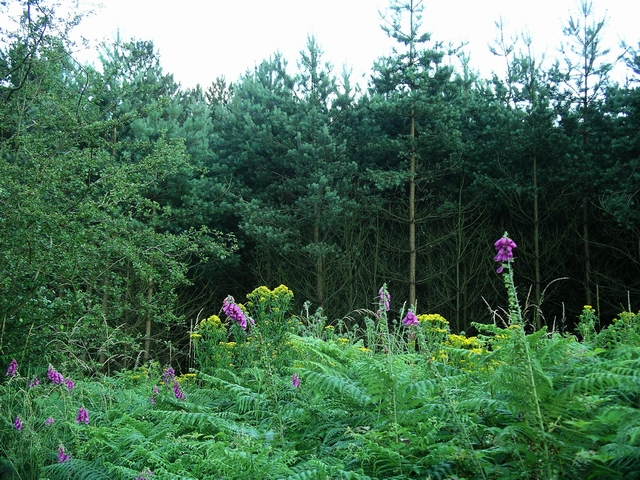 Foxgloves & ragwort, Sherwood Pines