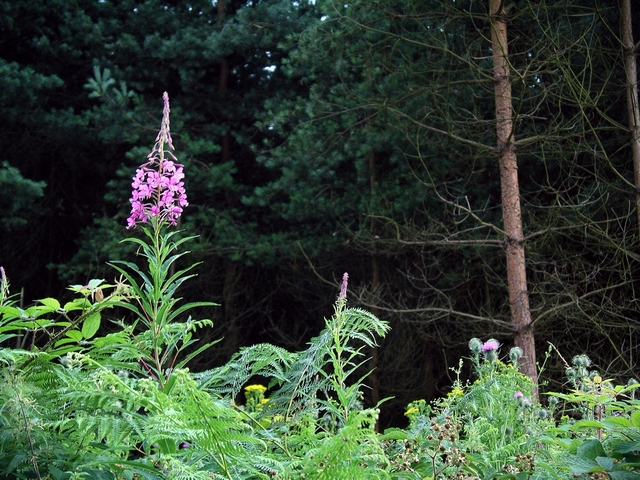 Rose-bay willowherb (chamaenerion angustifolium)