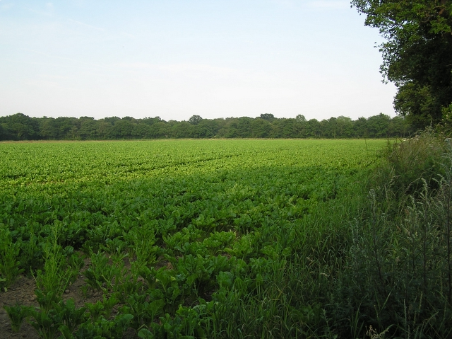 Sugar beet, near Catfield