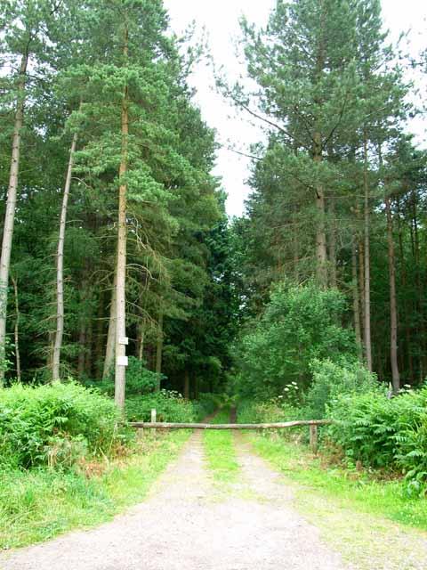 Plantation above Marchington Woodlands