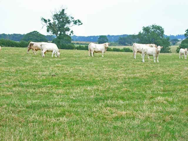 Charolais cattle at Lower Lynbrook Farm, Scotch Hill