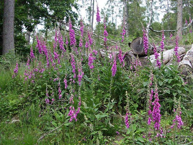 Foxgloves in woodland