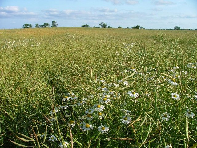 Ox Eye Daisies and Rape, Hatter's Hall