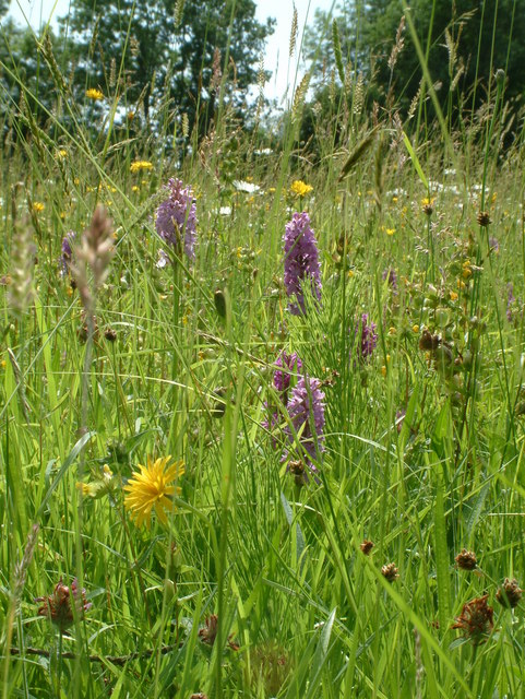 Winllan Wildlife Garden - Hay Meadow with wild flowers including rare marsh orchids