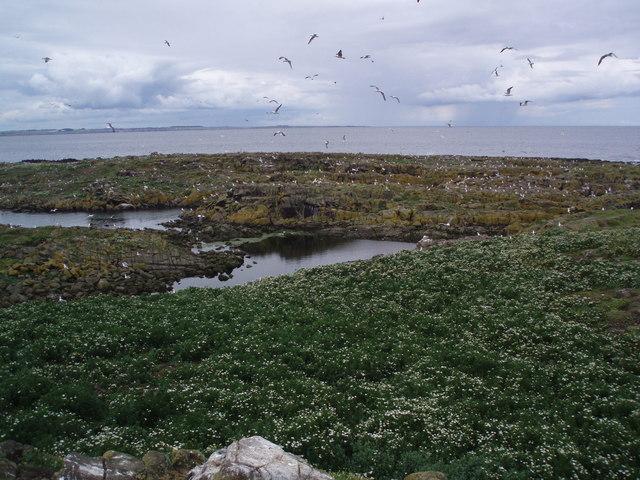 White sea campion and gulls, Isle of May