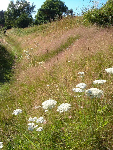 Wild carrot and grass on South West Coast Path