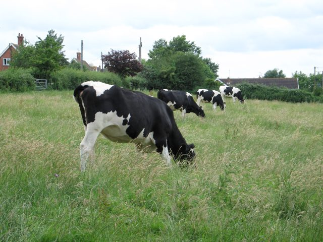 Cattle grazing at Cuckold's Green