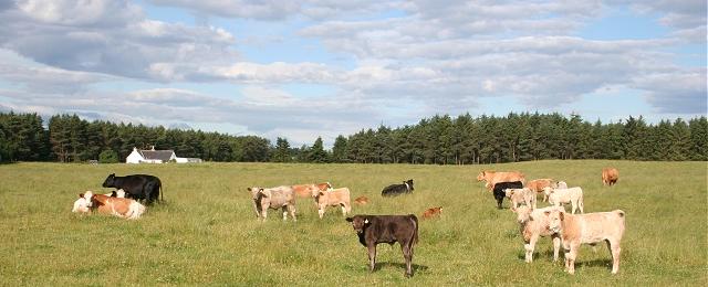 Cattle at Castlehill