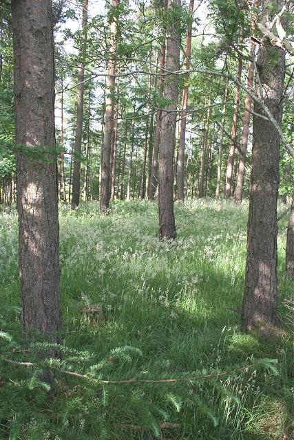 Forest near Steelsbrae