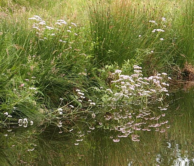 Marsh Valerian (Valeriana dioica)