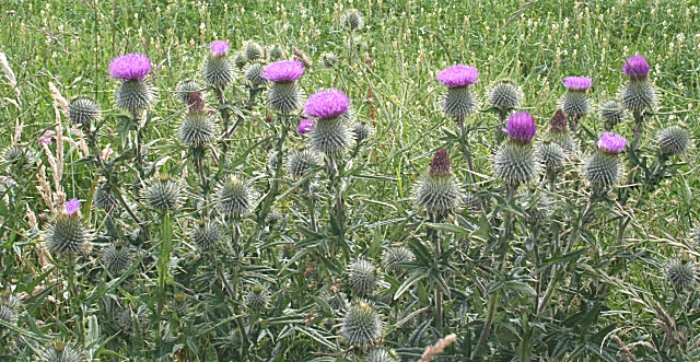 Scotch Thistle (Cirsium vulgare)