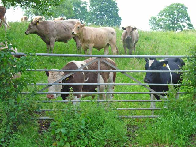 Cattle at Green Farm, Hilderstone