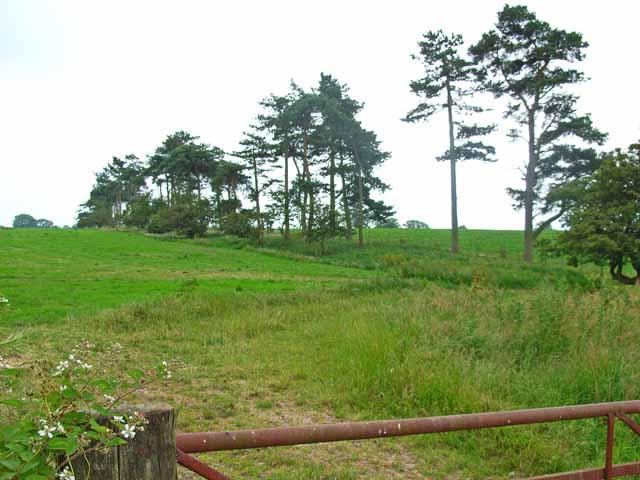 Line of pine trees at Sharpley Heath