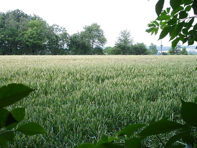 Ripening wheat near Shingle Barn Farm