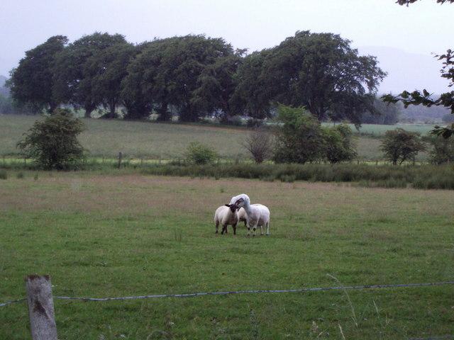 Sheep near Buchlyvie