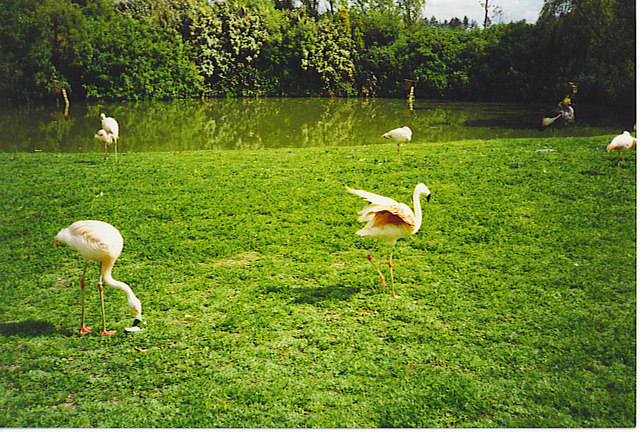 Free Range Flamingos at Birdworld.