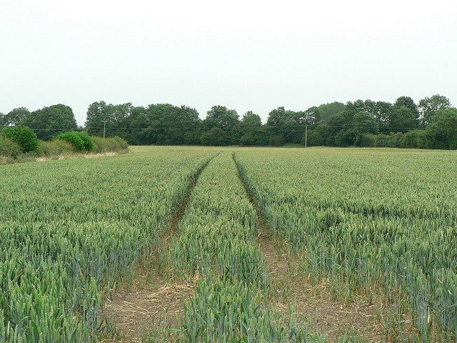 Wheatfield by Knaresborough Road, Ripon