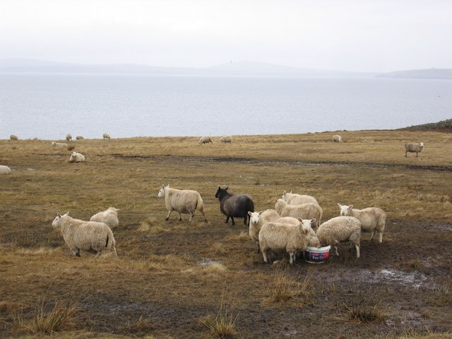 Sheep in the field on North West Burray