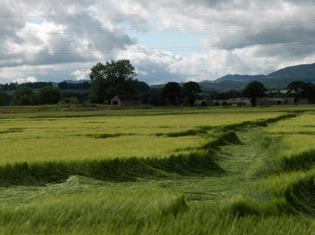 Wind-blown barley, Templemill