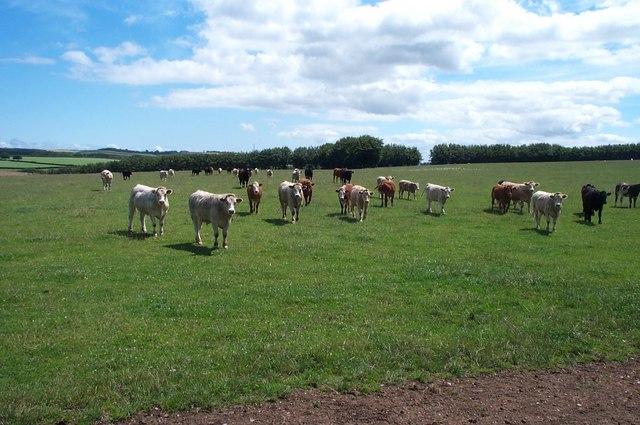 Cattle near Tripp Barrow