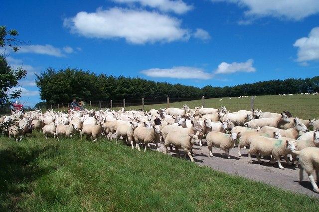 Moving Sheep to Tripp Farm