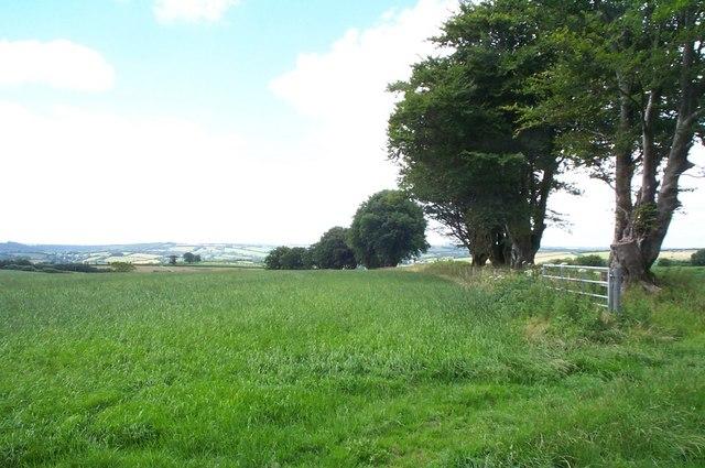 Big beech trees, north of Upton