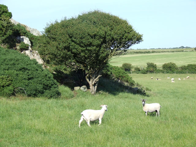 Sheep next  to a rocky outcrop at Clegir Gwynion