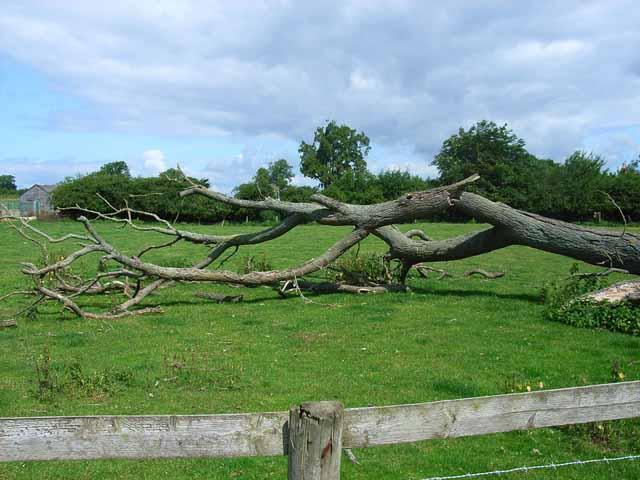 Fallen tree, near Holmlea Farm, Doveridge