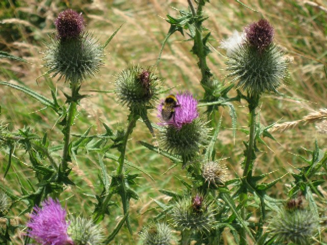 Thistle Bee a Supplementary