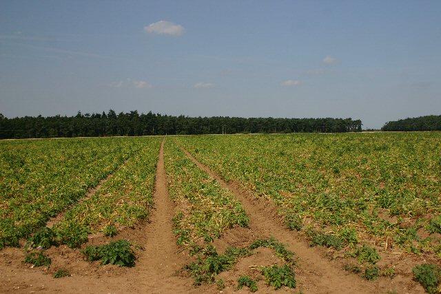 Potato field at Ampton