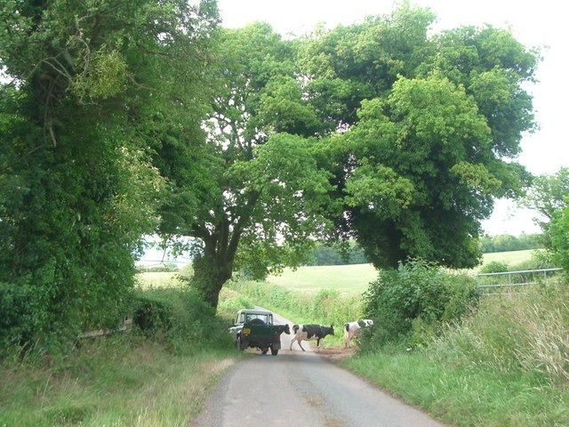 Cattle crossing the lane near Bouldon