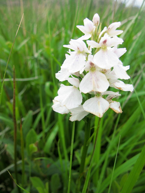 Heath Spotted Orchid, Laorin Bay