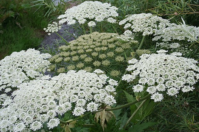 Giant Hogweed; Beware!!!!!