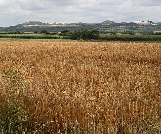 Ripening Barley Field