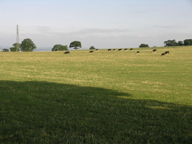 Cows and Sunshine