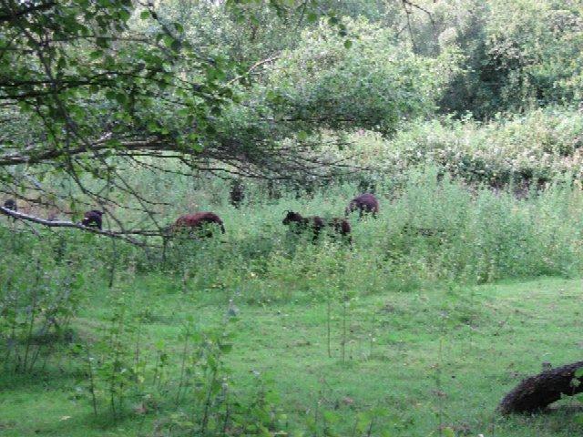 A Flock of Hebridean Sheep