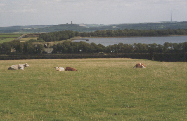 grazing cows, Black Moor