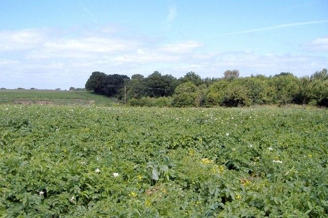 Potato field, Basford