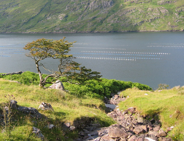 Stunted tree by Killary Harbour
