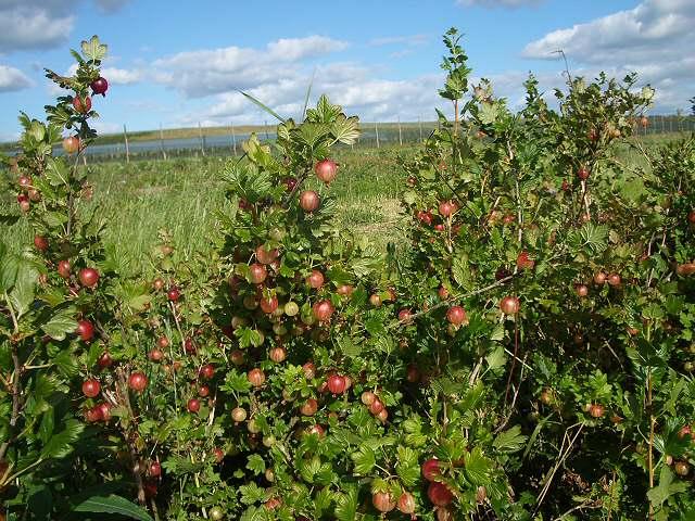 Pick your own gooseberries