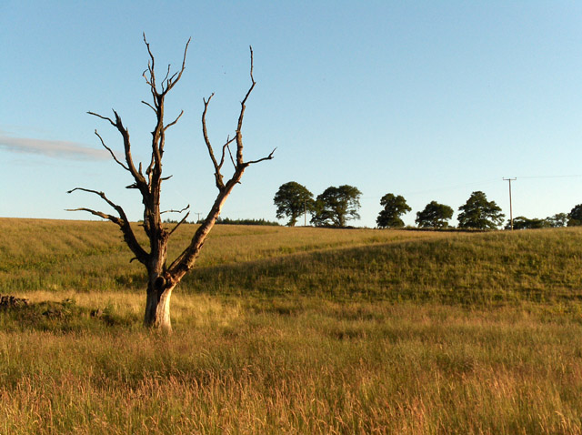 Dead tree near Culticheldoch