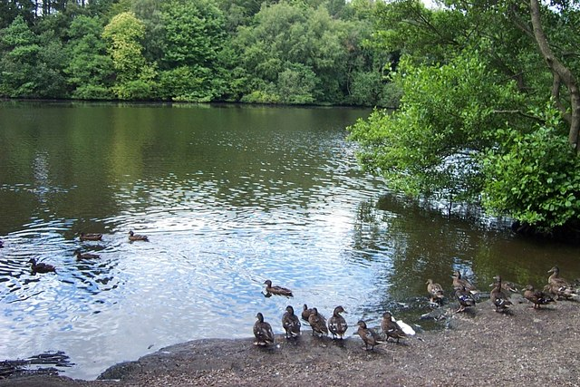 Ducks on eastern shore of Llyn Syberi