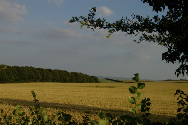 Cornfield and row of trees