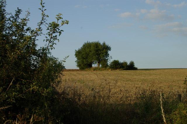 Willow Tree in Cornfield Chearsley-Chilton Road