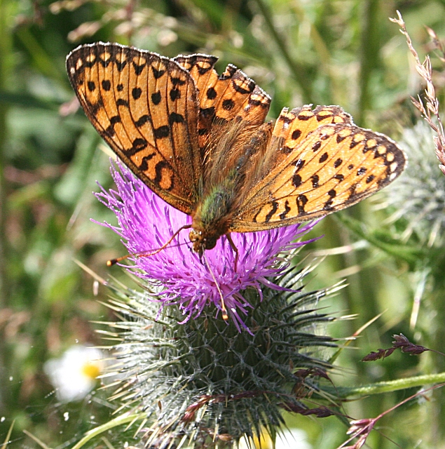 Small Pearl-Bordered Fritillary Butterfly (Boloria selene)