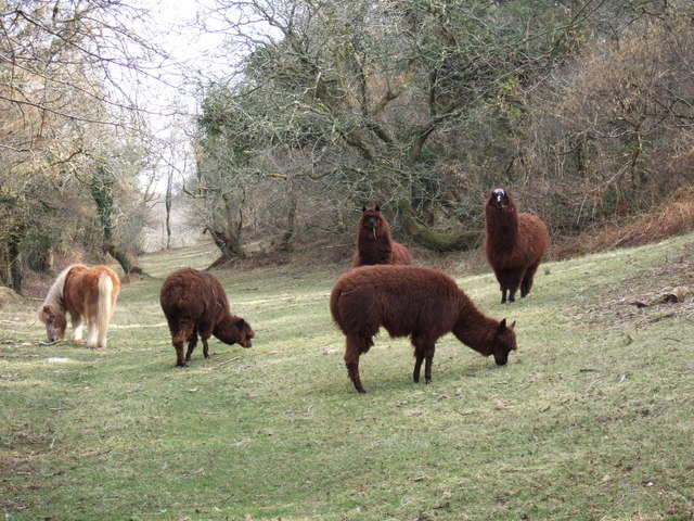 Alpacas in Pembrokeshire