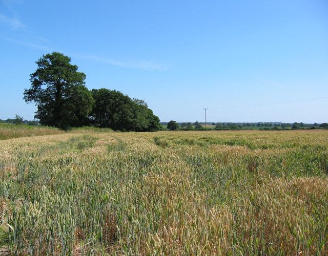 Wheat field, Chorley Stock
